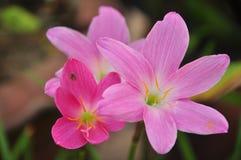 La flor púrpura del lirio de la lluvia Foto de archivo libre de regalías