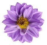 La flor púrpura en blanco aislado aisló el fondo con la trayectoria de recortes primer Flor violeta hermosa para el diseño Dalia Imágenes de archivo libres de regalías