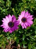 La flor púrpura y amarilla para arriba se cierra con el fondo verde 4k Imagen de archivo libre de regalías