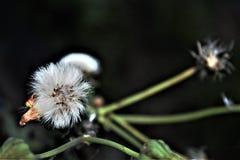 La flor parece algodón Fotografía de archivo libre de regalías