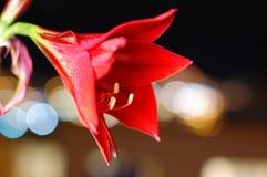 La flor roja bokhen Fotos de archivo libres de regalías