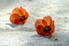 La flor roja cae abajo en la arena Imagen de archivo libre de regalías