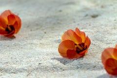 La flor roja cae abajo en la arena Imagen de archivo