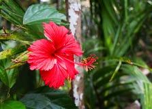 La flor roja crece en la selva Foto de archivo libre de regalías
