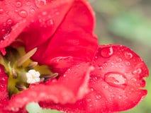 La flor roja de los pétalos con agua cae en fondo brillante Fotos de archivo