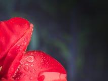 La flor roja de los pétalos con agua cae en fondo oscuro Fotografía de archivo