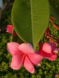 La flor roja del frangipani con verde se va en el complejo de viviendas Sidoarjo, Indonesia de Pondok Candra Imagenes de archivo