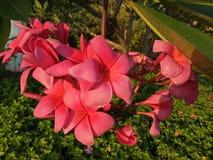 La flor roja del frangipani con verde se va en el complejo de viviendas Sidoarjo, Indonesia de Pondok Candra Foto de archivo