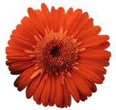 La flor roja del gerbera, blanco aisló el fondo con la trayectoria de recortes primer Ningunas sombras Para el diseño foto de archivo