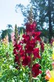 La flor roja en el campo, carnaval del altramuz de la flor Fotos de archivo libres de regalías