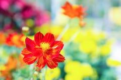 La flor roja en el parque, flor colorida Foto de archivo