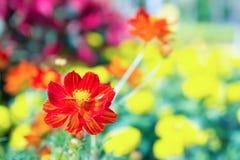 La flor roja en el parque, flor colorida Fotografía de archivo