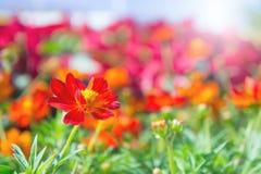 La flor roja en el parque, flor colorida Foto de archivo libre de regalías