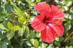 La flor roja floreció Foto de archivo