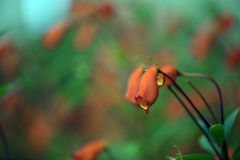 La flor roja hermosa de Seemannia en fondo borroso imágenes de archivo libres de regalías
