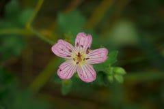 La flor rosada única de Colorado Fotos de archivo