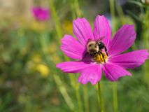 La flor rosada de Cosmo con manosea la abeja Fotografía de archivo
