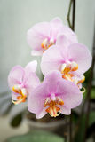La flor rosada de cuatro orquídeas Imágenes de archivo libres de regalías
