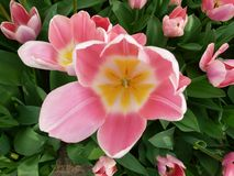 La flor rosada de los keukenhof hermosos, Amsterdam fotos de archivo