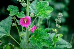 La flor rosada de la malva floreció en un día de verano ligero La abeja vuela t Imágenes de archivo libres de regalías