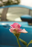 La flor rosada de Rose en lluvia cae contra el coche azul Fotos de archivo