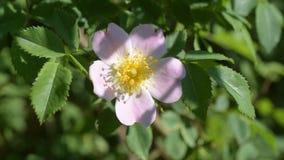 La flor rosada de un perro subió en la flor verde del rosa del fondo almacen de video