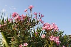 La flor rosada del adelfa o subió adelfa fragante de la bahía, adelfa del Nerium y las hojas de palma contra el cielo azul tranqu fotos de archivo libres de regalías