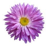 La flor rosada del aster en un blanco aisló el fondo con la trayectoria de recortes Florezca para el diseño, textura, postal, env Fotos de archivo libres de regalías