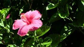La flor rosada del hibisco con verde sale del estambre amarillo metrajes