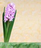 La flor rosada del jacinto florece en la primavera en un fondo amarillo Fotografía de archivo libre de regalías