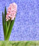 La flor rosada del jacinto florece en la primavera en un fondo púrpura Foto de archivo