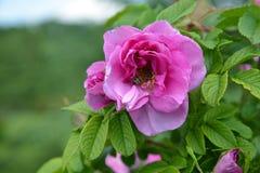 La flor rosada del perro salvaje subió con la abeja Fotografía de archivo