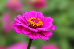 La flor rosada del zinnia disfruta en verano flor color de rosa rosada en fondo verde aislado fotos de archivo