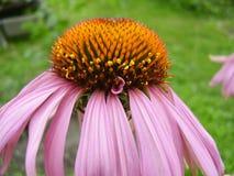 La flor rosada despedida Fotos de archivo libres de regalías
