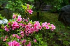 La flor rosada dulce del rododendro del color que florece con las hojas verdes claras y el fondo borroso del jardín en Kurokawa o Foto de archivo libre de regalías