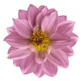 La flor rosada en blanco aislado aisló el fondo con la trayectoria de recortes primer Flor rosada hermosa para el diseño Dalia Foto de archivo libre de regalías