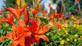 La flor rosada grande en el jardín, verano del lirio florece el fondo Foto de archivo