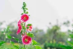 La flor rosada hermosa está floreciendo fotos de archivo libres de regalías
