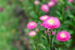 La flor rosada hermosa está floreciendo imagen de archivo