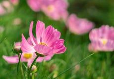 La flor rosada hermosa está floreciendo foto de archivo
