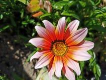 La flor rosada, púrpura y amarilla para arriba se cierra con el fondo verde 4k Imagen de archivo
