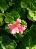 La flor rosada para arriba cierra 4k Fotografía de archivo
