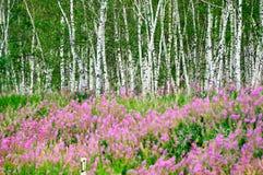 La flor rosada y el abedul de plata imagen de archivo libre de regalías