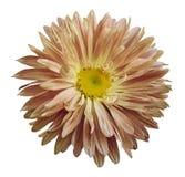 La flor rosado-amarilla del aster del otoño en un blanco aisló el fondo con la trayectoria de recortes Florezca para el diseño, t Imagenes de archivo