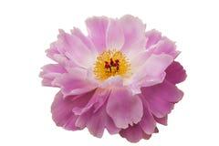 la flor Rosado-blanca de la peonía con estambres amarillos y un corazón rojo, en blanco aisló el fondo Foto de archivo