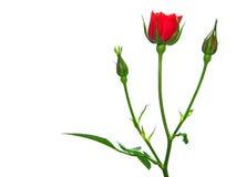 La flor se levantó Fotografía de archivo
