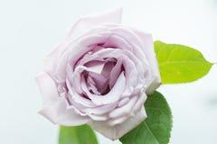 La flor se levantó Fotografía de archivo libre de regalías
