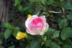 La flor subió con los pétalos rosados delicados Fotografía de archivo libre de regalías