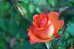 La flor subió con los pétalos rosados delicados Imagenes de archivo