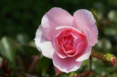 La flor subió con los pétalos rosados delicados Imágenes de archivo libres de regalías